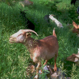 Goats Bring a Community Together for Wildfire Prevention